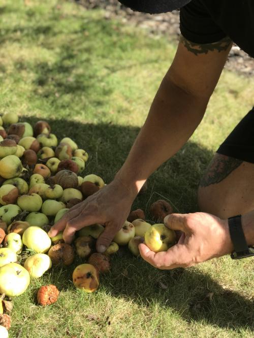 <span>Hasse Leis plockar äpplen</span>